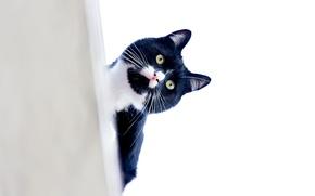 Обои усы, взгляд, кот, котэ