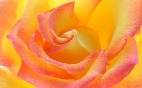 Обои цветок, макро, фон, роза, цвет