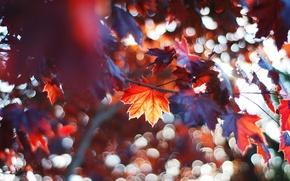 Картинка осень, лес, листья, дерево, ветви, клён