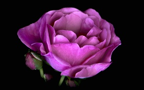 Картинка цветок, капли, фон, лепестки, пион