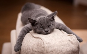 Картинка photos, macro, predator, Cat, animal, sleep, british, situation, feline