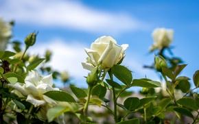 Картинка розы, бутоны, белые розы