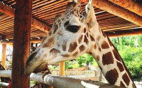 Картинка животное, голова, жираф, мордочка, зоопарк, animal, giraffe, zoo, head