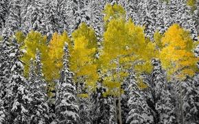 Картинка осень, лес, листья, снег, ель, Колорадо, США, осина, Аспен, горы Сан-Хуан