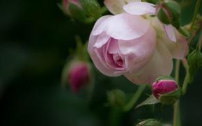 Картинка макро, лепестки, бутоны, роза