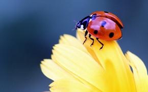 Картинка цветок, макро, божья коровка, жук, лепестки, насекомое