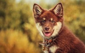 Картинка взгляд, собака, боке, Финский лаппхунд