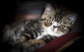 Картинка взгляд, экзот, Экзотическая кошка