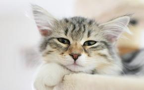 Картинка кошка, кот, морда, котенок
