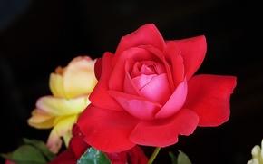 Обои роза, лепестки, куст, макро