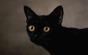 Обои пристальный, взгяд, кот, черный