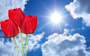 Обои облака, небо, солнце, фотошоп, три, тюльпаны, красные, фон, лучи, цветы