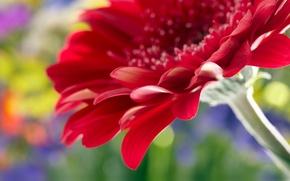 Обои beautiful red daisy gerbera, close up, rose, flower