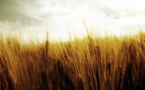 Обои жатва, природа, колоски, пшеница, урожай, поле, небо, колосья