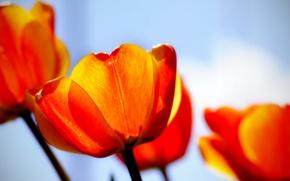 Обои красный, тюльпаны