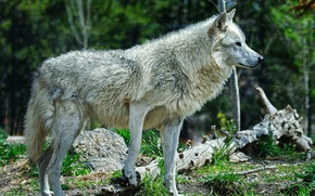 Картинка лес, волк, хищник