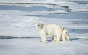 Картинка медведи, Норвегия, льдина, медвежата, белые медведи, медведица, полярные медведи