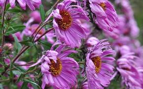 Обои капли, трава, лето, роса, астры, зелень, вода, дождь, цветок, сиреневый, природа, растения, макро, цветы
