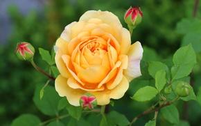 Картинка желтый, роза, лепестки, бутоны