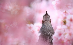 Картинка вишня, птица, весна, клюв, сакура, цветение