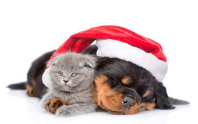 Картинка котенок, шапка, собака, Рождество, Новый год, Christmas, друзья, cat, dog, sleep, ротвейлер