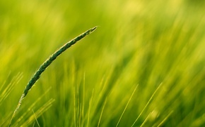 Обои зелень, поле, колос