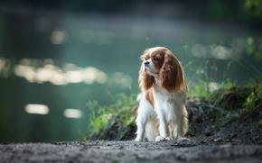 Картинка собака, спаниель, Кавалер кинг чарльз спаниель