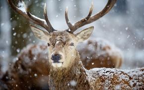 Картинка снег, олень, рога