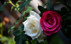 Обои дуэт, розы, бутоны