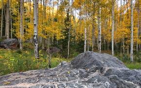 Картинка осень, лес, листья, камень, Колорадо, США, осина, Аспен