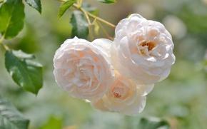 Картинка макро, розы, бежевый
