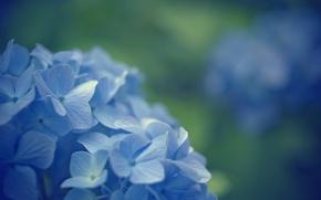 Картинка макро, цветы, фон, голубой, widescreen, обои, размытие, wallpaper, цветочки, широкоформатные, background, полноэкранные, HD wallpapers, примулы, …