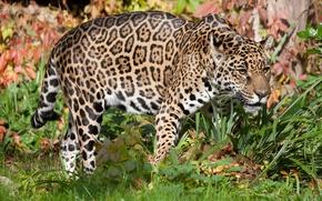 Картинка кошка, трава, ягуар