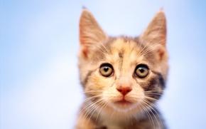 Картинка взгляд, котенок, фокус, 154