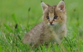 Обои рысь, трава, рысёнок, малыш, котёнок