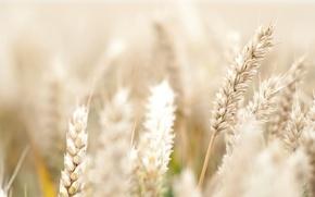 Картинка цветы, широкоэкранные, HD wallpapers, обои, колосок, пшеница, поле, рожь, flower, полноэкранные, background, fullscreen, макро, широкоформатные, ...