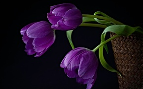 Картинка цветы, корзина, тюльпаны, композиция