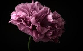 Картинка цветок, фиолетовый, стебель, flower, purple, stalk