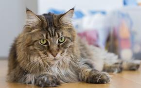 Картинка кошка, кот, взгляд, мейн кун