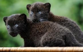 Обои молодняк, котята, ягуар, черные