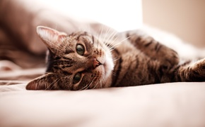 Обои кошка, постель, киса, кровать, обои, морда, котэ, wallpaper, кот
