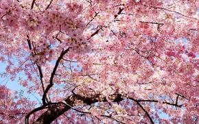 Картинка ветви, весна, лепестки, сакура, восток, Japan, розовые, sakura
