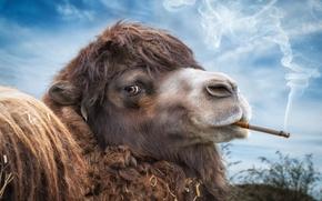 Картинка фон, widescreen, обои, дым, сигарета, wallpaper, smoke, широкоформатные, background, cigarette, полноэкранные, HD wallpapers, Camel, широкоэкранные, …