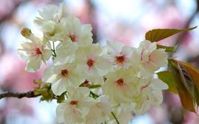 Картинка цветы, ветка, бело-розовые, цветение, весна, листья
