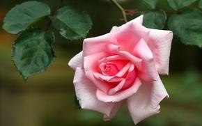 Обои листья, роза, лепестки, бутон
