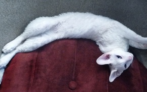 Картинка Кошка, белая, голубоглазая, корниш-рекс