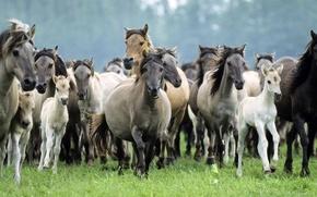 Картинка рысь, жеребята, игренивые, жеребцы, поле, мышастые, целеустремленность, кобылы, чагровые, серые, вороные, грива, Лошади, белые, бег, ...