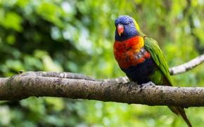 Картинка ветка, природа, многоцветный лорикет, попугай, размытость, дерево, зелень, птица, разноцветный