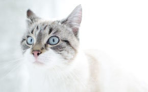 Обои кот, глаза, снег, котЭ