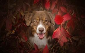 Картинка осень, язык, глаза, взгляд, морда, листья, ветки, собака, кусты, овчарка, австралийская, багрянец, аусси
